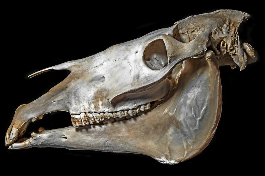 Das Foto verdeutlicht, wie empfindlich der Nasenknochen eines Pferdes ist. Um diesen zu schützen, muss ein Kappzaum korrekt am Pferdekopf sitzen.